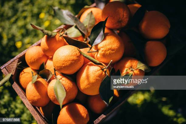 wooden basket full of ripe oranges in orange grove - orange orchard stock photos and pictures