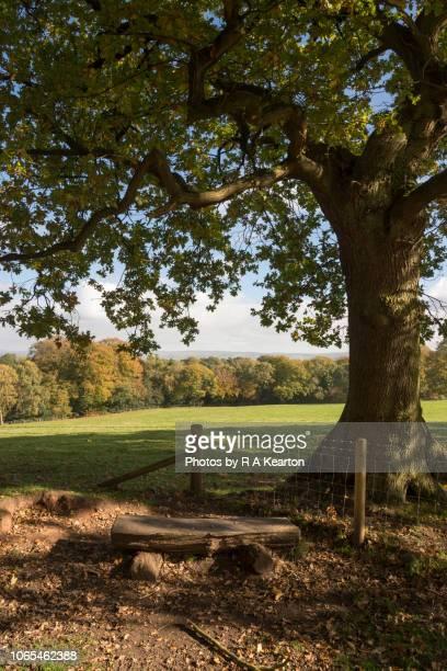Wooden bench below old Oak tree, Cheshire, England