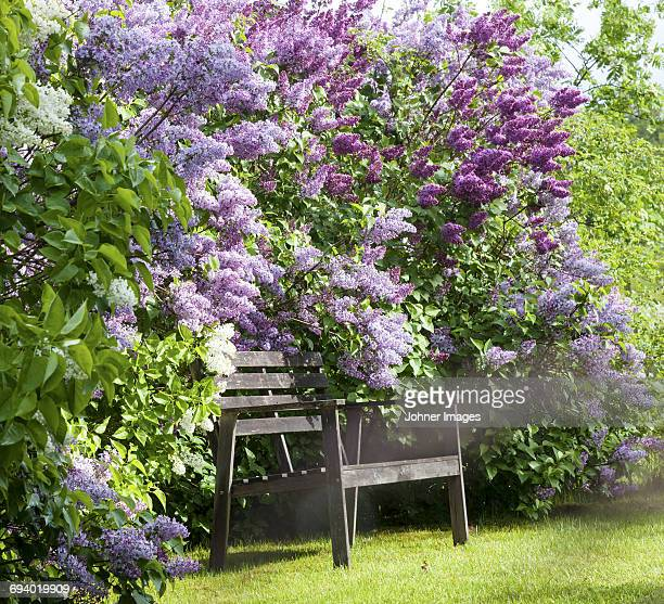 wooden bench near flowering lilacs - lilac stock photos and pictures