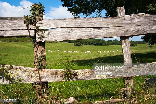 Wooden fence and some cows in Pays Basque.