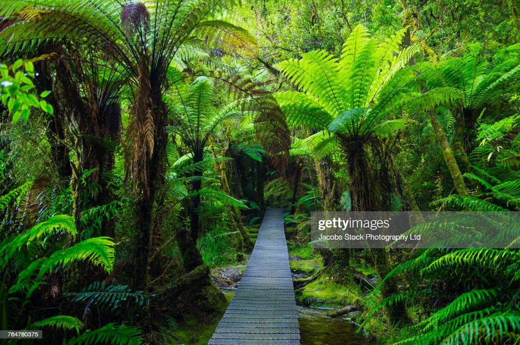 Wooden Footpath In Dense Jungle Stock Photo Getty Images