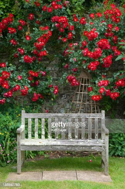 wooden garden bench with red climbing ros (rosa) behind, june - kim rose stock-fotos und bilder