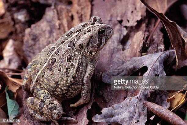 Woodhouse Toad on Dry Leaves
