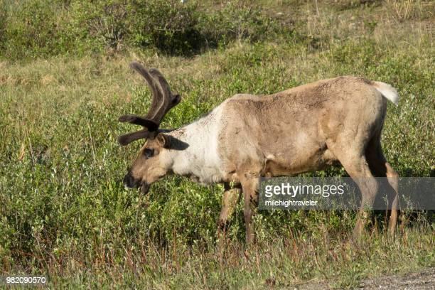 Woodland caribou herd Stone Mountain Provincial Park British Columbia Canada