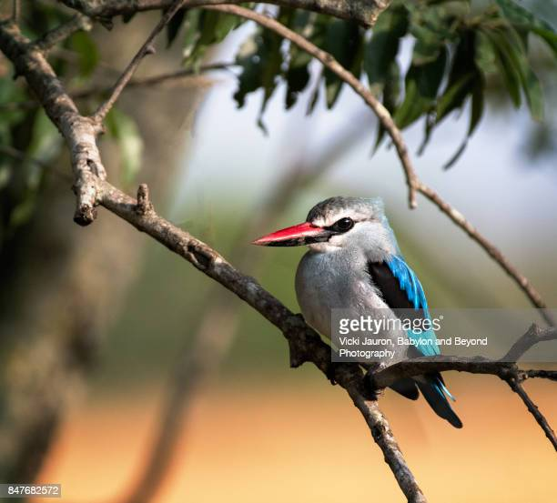 woodland kingfisher in masai mara, kenya - freshwater bird stock photos and pictures