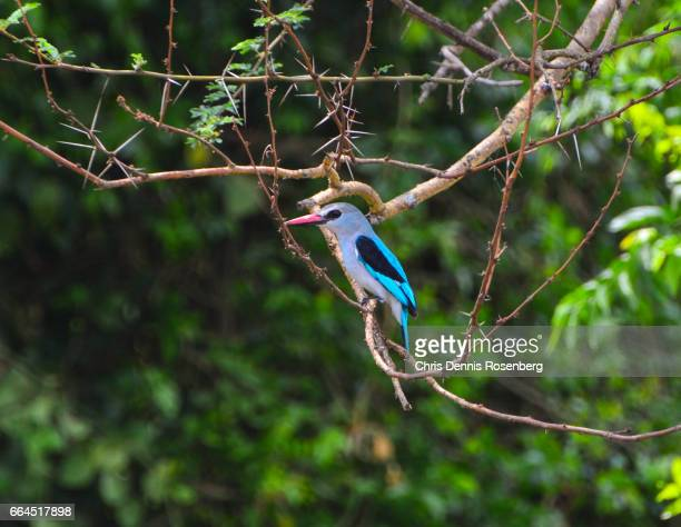 woodland kingfisher. - freshwater bird stock photos and pictures