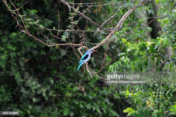 woodland kingfisher (halcyon senegalensis) resting on a tree - freshwater bird stock photos and pictures