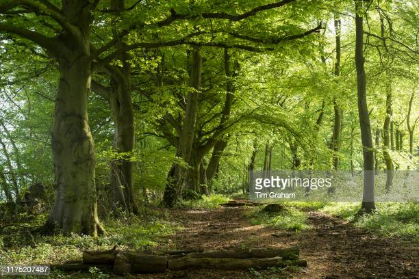 Woodland path by ancient beech trees Fagus in late spring early summer in the Gloucestershire Cotswolds United Kingdom