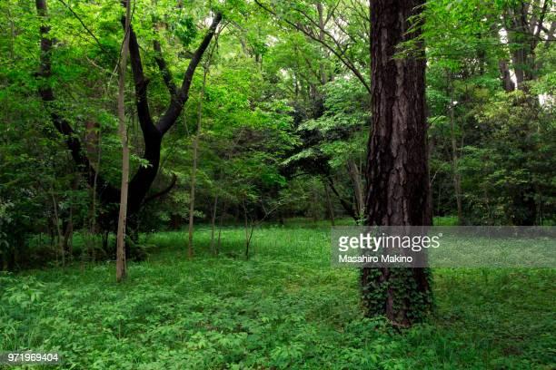 woodland - árbol de hoja caduca fotografías e imágenes de stock