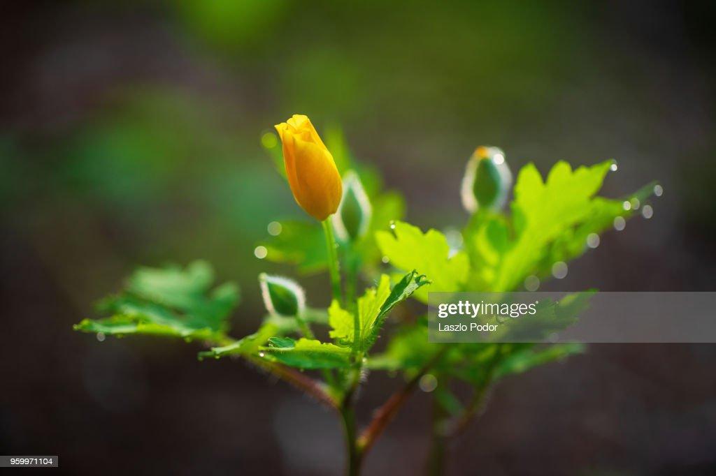 Woodland Poppy (Stylophorum diphyllum) : Stock-Foto