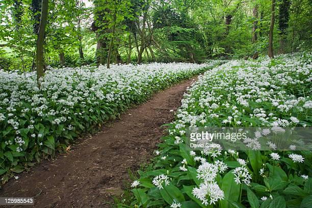 woodland ramson (allium ursinum), cotswolds, gloucestershire, england - gloucestershire stock pictures, royalty-free photos & images