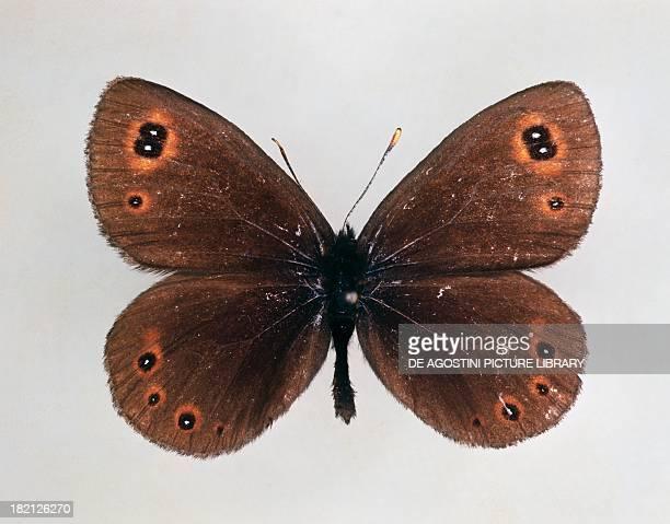 Woodland ringlet butterfly Satyrinae