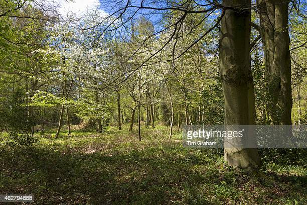 Woodland scene and country walk within Bruern Wood in The Cotswolds Oxfordshire UK