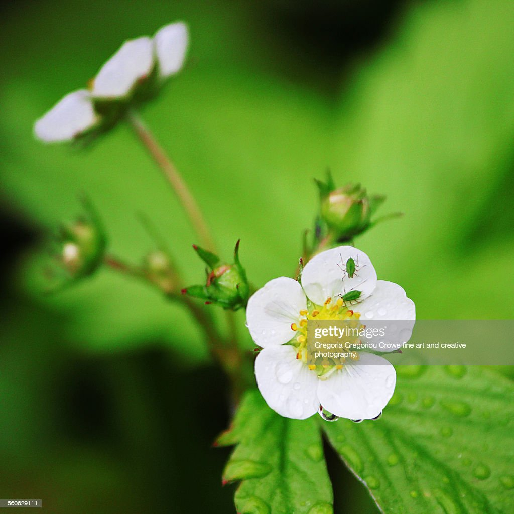 Woodland strawberry flower : Stock Photo