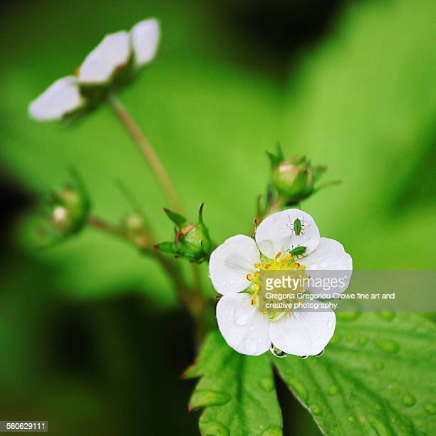 woodland strawberry flower - gregoria gregoriou crowe fine art and creative photography stock pictures, royalty-free photos & images