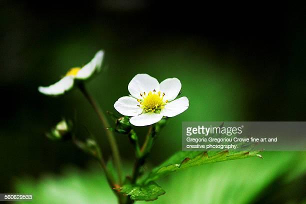 Woodland strawberry flowers