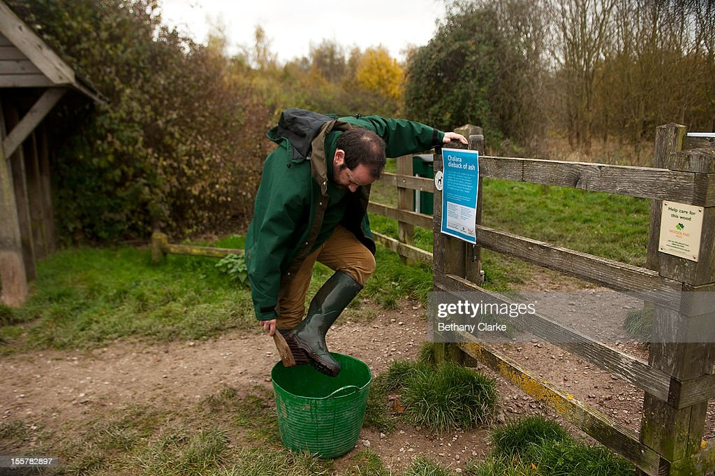 A woodland trust worker disinfects his boots at Pound Farm Woodland where many of the Ash trees have been identified as having Ash Dieback Disease on November 8, 2012 near Ipswich, United Kingdom. The Ash Dieback outbreak has the potential to devastate the UK's population of 80 million ash trees. The first confirmed case in the UK was in March 2012, and since then, dieback has been confirmed at a further 82 sites, with woodlands in Norfolk, Suffolk, Kent and Essex among the worst affected and has now spread to Scotland. Dieback is caused by a fungus Chalara Fraxinea and was first recorded in Eastern Europe in 1992, spreading over two decades to infect most of the continent.