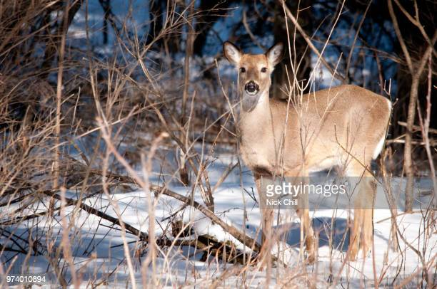 woodland white-tail, iowa - white tail buck stock photos and pictures