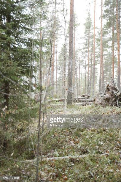 Woodland with first snow of the season in National Park, Finland