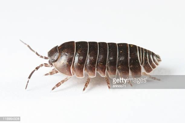woodlouse 02 - potato bug stock pictures, royalty-free photos & images