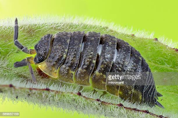 woodlouse insect close up - potato bug stock pictures, royalty-free photos & images