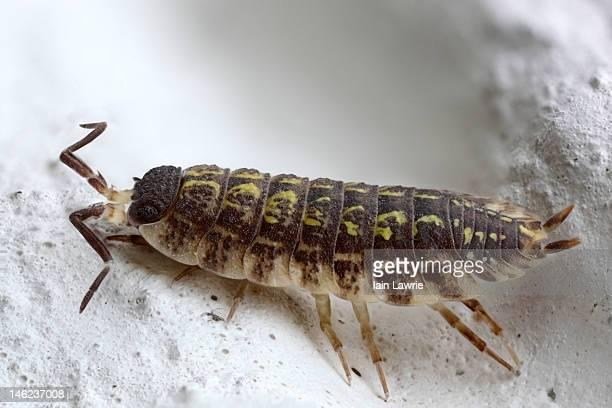 woodlouse - potato bug stock pictures, royalty-free photos & images