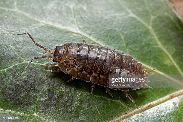 woodlouse (pill bug, roly-poly) - potato bug stock pictures, royalty-free photos & images