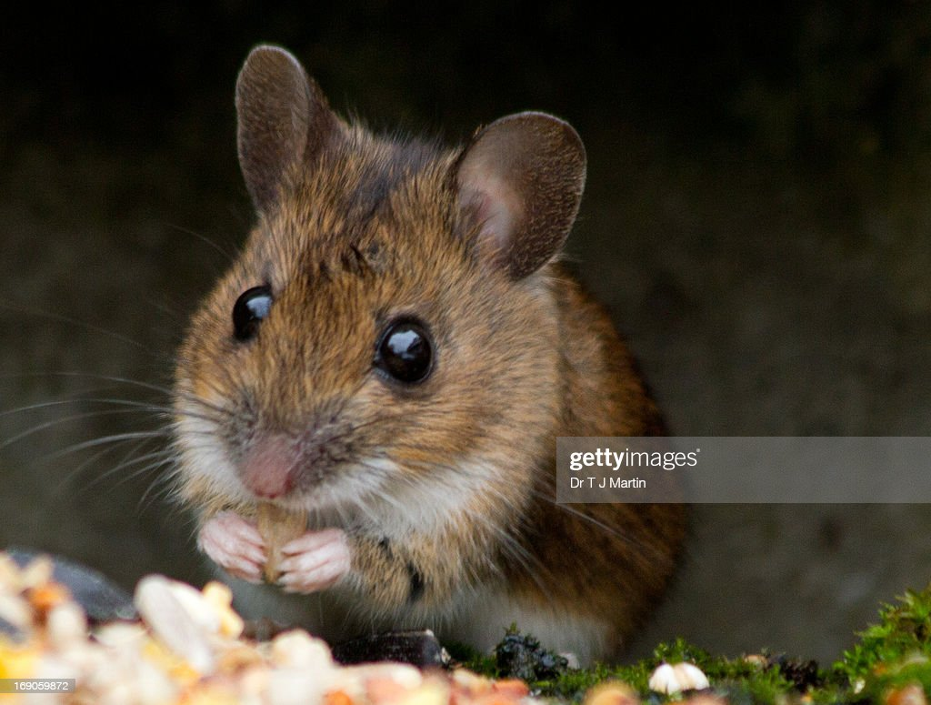 Woodmouse eating breakfast : Stock Photo