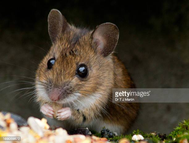 Woodmouse eating breakfast