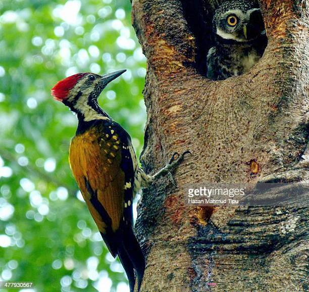 A Woodpecker and a Owl