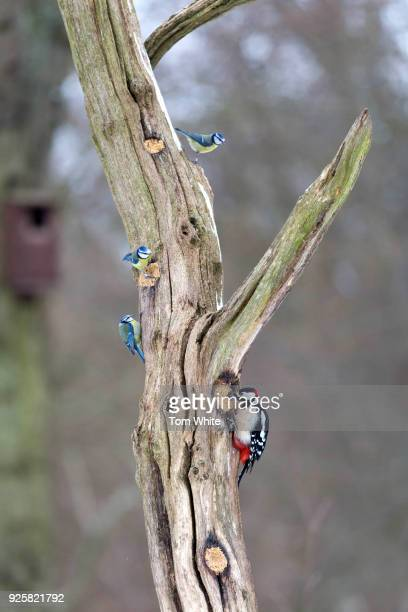 A woodpecker and three blue tits in Gosforth Park Nature Reserve on March 1 2018 in Newcastle United Kingdom Although Storm Emma and The Beast From...