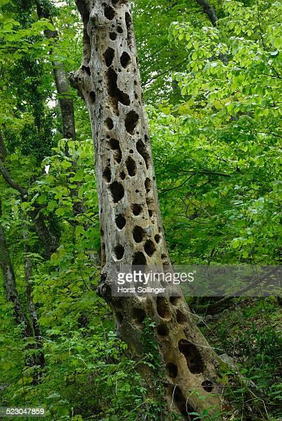 Woodpecker holes in a dead tree