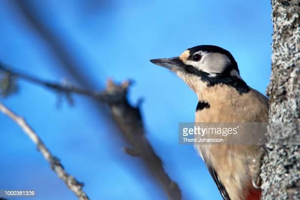 Woodpecker #