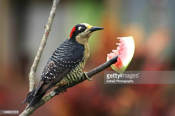 woodpecker - parque nacional de santa rosa fotografías e imágenes de stock