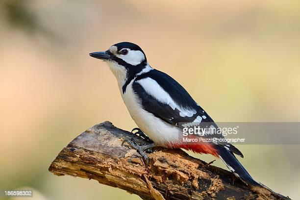 woodpecker - pica pau malhado grande - fotografias e filmes do acervo