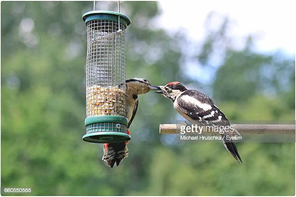 woodpeckers by feeder against trees - michael hruschka stock pictures, royalty-free photos & images