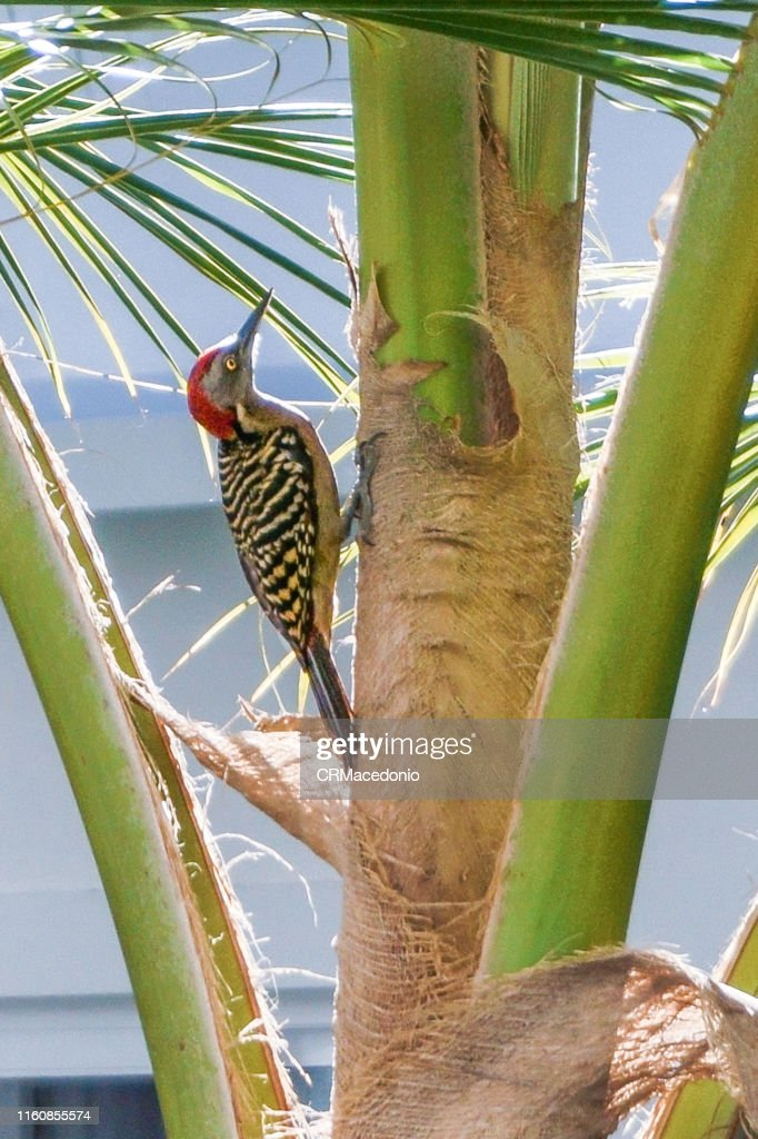 Woodpeckers looking for your food in the coconut tree. : Stock Photo