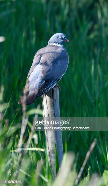 woodpigeon (columba palumbus) perches a post - flying stock pictures, royalty-free photos & images