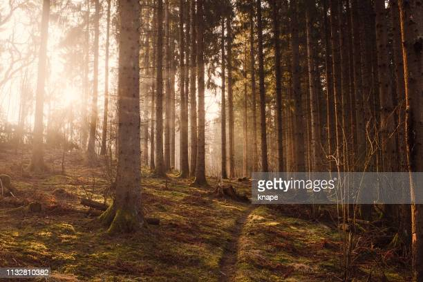 woods forest with sunshine sunbeam fog and beautiful ray of light - pine woodland stock pictures, royalty-free photos & images