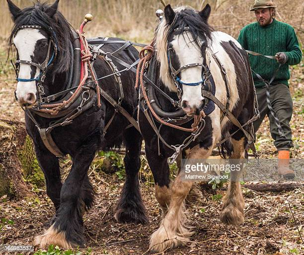 Woodsman guides his two cob horses through managed woodland. The horses are dragging a felled tree trunk along the ground. This method of working is...