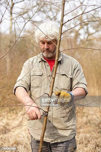 Woodsman pruning silver birch sapling