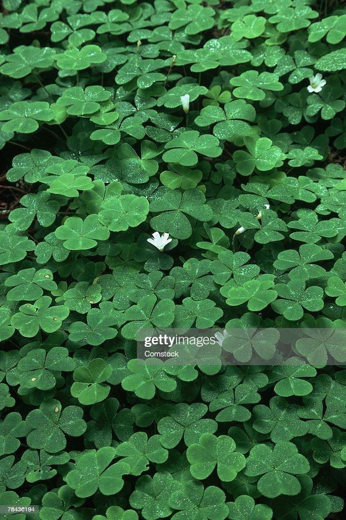 Wood-sorrel in bloom : Stockfoto