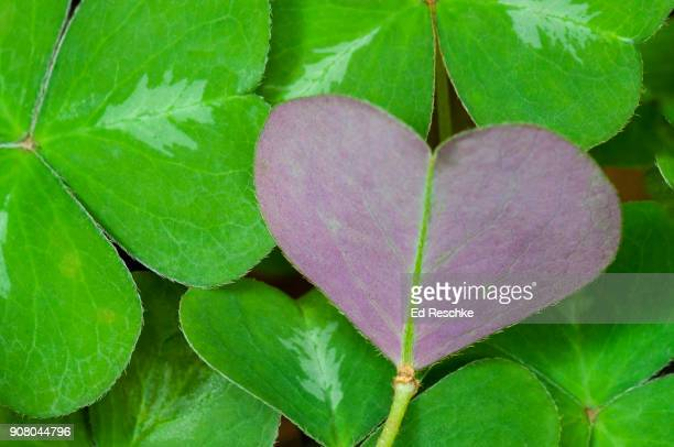 wood-sorrel oxalis - ed reschke photography stock photos and pictures