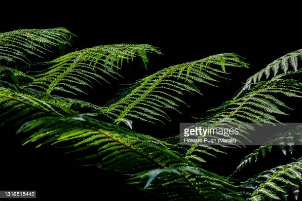 woodwardia radicans black background - howard pugh stock pictures, royalty-free photos & images