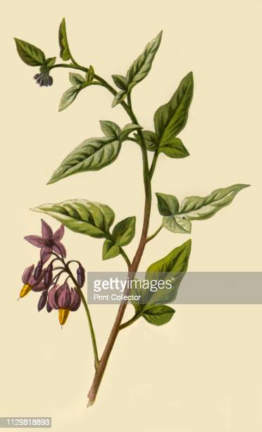 'Woody Nightshade' 1877 Woody Nightshade or Bittersweet is a perennial vine considered an invasive species the berry is poisonous to humans and...