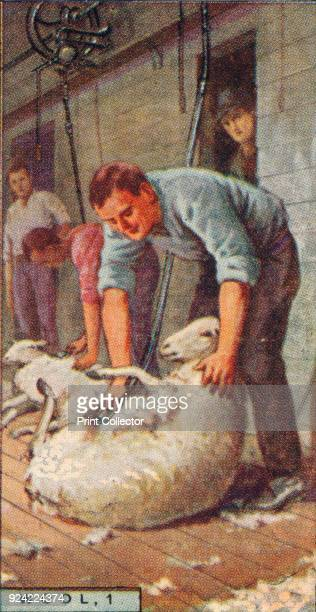'Wool 1 Shearing Sheep by Machinery Australia' 1928 From Player's Cigarettes Products of the World A Series of 50 [John Player Sons London 1928]...