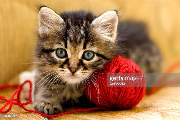 wool lover - kitten stock pictures, royalty-free photos & images