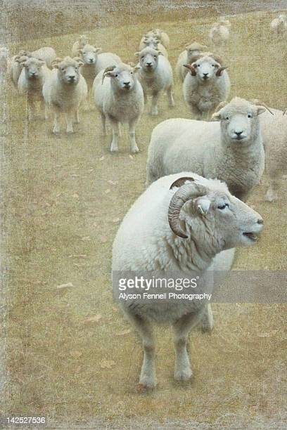 wool sheep - alyson fennell stock pictures, royalty-free photos & images