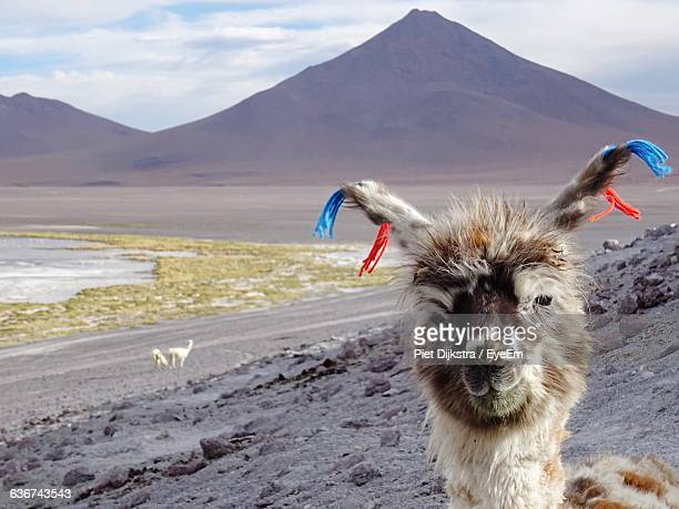 Wool Tied To Llama Head Against Mountains