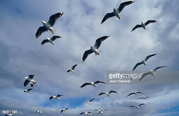 A flock of Silver Gulls soar in flight formation against a cloudy sky.